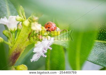 Ladybug Over A Green Leaf