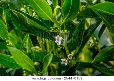 White Flower Of An Orange Tree