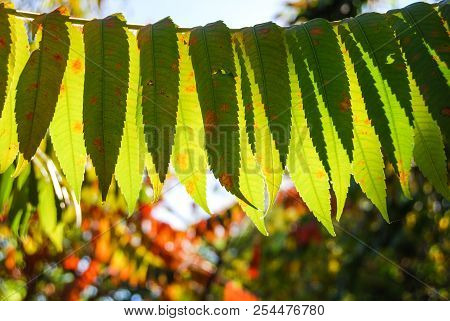 Leaves Of Fraxinus Downmost Illuminated From The Sun Rays During The Autumn Time