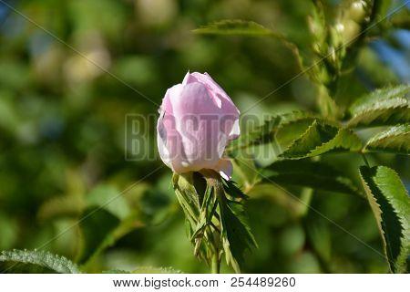Wildrose Bud Closeup On A Twig In A Dogrose Shrub