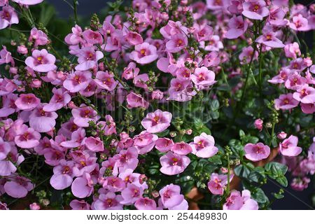 Beautiful Pink Summer Flowers Growing In A Flower Pot