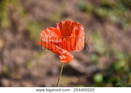 Closeup Of A Red Poppy Flower Head