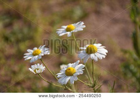 Beautiful Sunlit Growing Chamomile Flowers Close Up