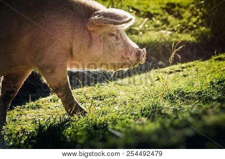 A Dirty Pink Pig In Search Of Food On A Green Meadow.