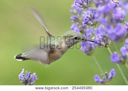 Hummingbird Drinking Lavendar Nectar. A Female Calliope Hummingbird, Selasphorus Calliope, Drinks Th