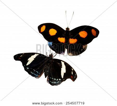 A Male And A Female Grecian Shoemaker, Blue-frosted Banner Or Stoplight Catone Butterfly, Catonephel