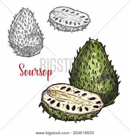 Soursop Exotic Fruit Vector Sketch. Botanical Design Of Tropical Custard Apple, Guanabana Or Graviol