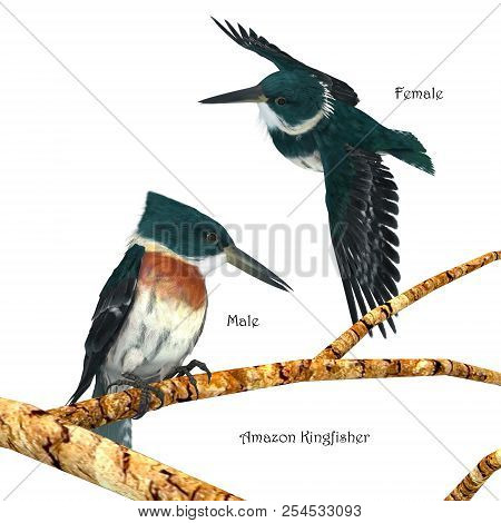 Amazon Kingfisher 3d Illustration - Amazon Kingfishers Usually Perch On A Branch Near A River And Th