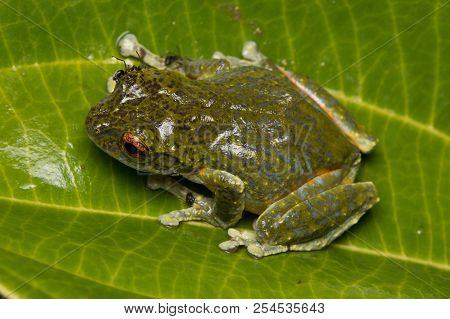 Tree Frog, Tree Frog Of Borneo, Tree Frog On Leaf , Frog Of Borneo , Frog With Isolated Black Backgr