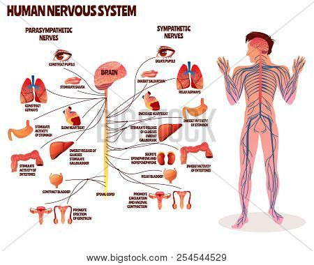 Human Nervous System Vector Illustration. Cartoon Design Of Man Body With Brain Parasympathetic And