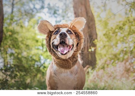 Funny Dog Portrait In Bear Hat Photographed Outdoors. Happy Smiling Staffordshire Terrier Sits In Wi