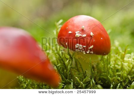 Toadstools in moss (Amanita muscaria)