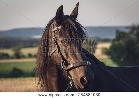 Head Of A Friesian Horse With Halter. Black Friesian Horse.