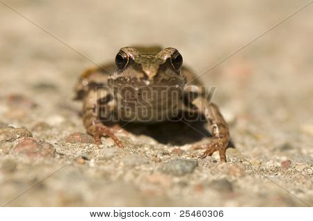Frog - Rana - common frog in the woods and wet places more poster