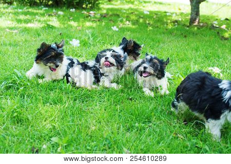 Group Funny Puppy Purebred Black-and-white Biewer Yorkshire Terrier Pet Sunny Day Grass Meadow. Smal