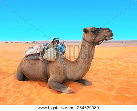 Camel in Sahara desert, Morocco. Camel dromedary resting lying on the sand. On blue sky background
