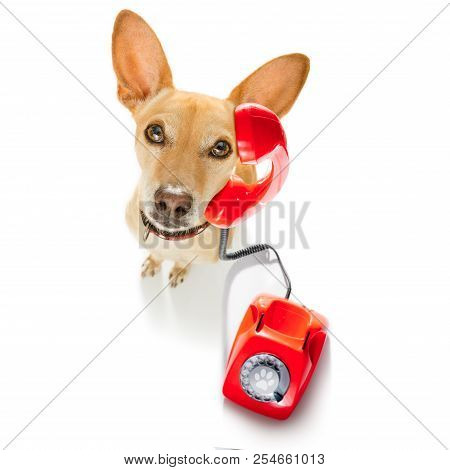 Chihuahua Dog With Glasses As Secretary Or Operator With Red Old  Dial Telephone Or Retro Classic Ph