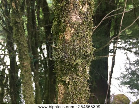 Background Texture Of Moss On The Bark Of A Tree. Green Moss On A Tree. Background Green Moss.