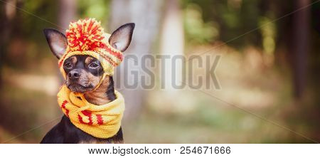 Dog In A Scarf And Hat In An Autumn Park. Theme Of Autumn. Funny Puppy Of The Toy-terrier
