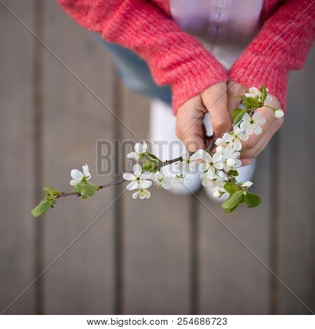 Top View On Cherry In Blossom In Female Hands On Wooden Background. White Spring Flowers. Nature. Ou