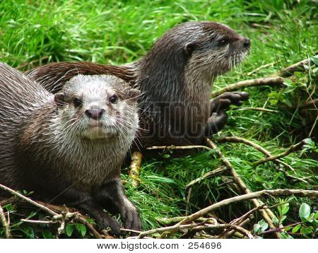 Otter - 6
