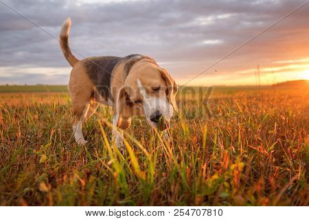 Beagle Dog Eats Green Grass While Walking In The Meadow On A Summer Evening At Sunset