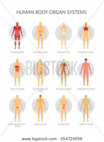 Human Body Biological Vector & Photo (Free Trial) | Bigstock