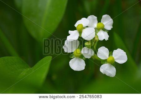 Female Bulltongue Arrowhead Flower, Sagittaria Sp., Central Of Thailand