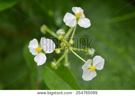 Male Bulltongue Arrowhead Flower, Sagittaria Sp., Central Of Thailand