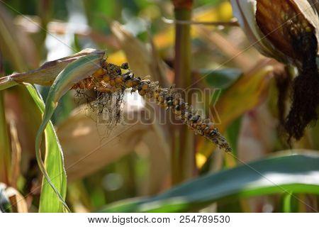 Corn Disease, Diseased And Deformed Corn Cob In Late Summer