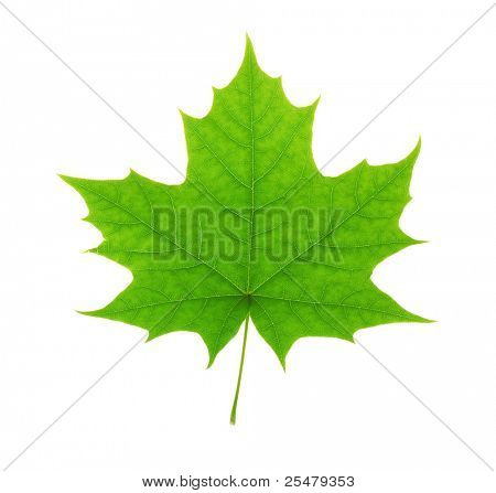 Green maple leaf isolated on white background poster