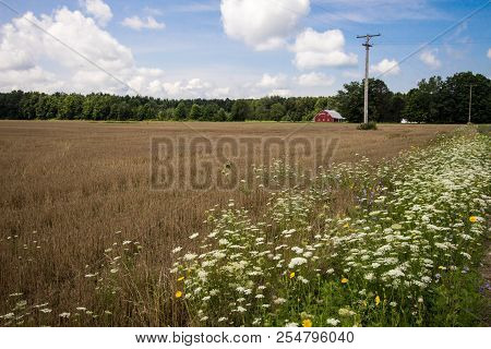 Red Barn Agricultural Background.  Farmers Wheat Field With Wildflowers In The Foreground And Tradit
