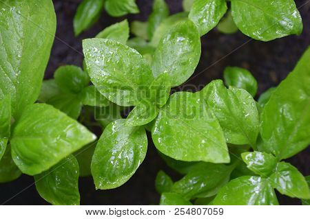 Sweet Basil, Ocimum Sp., Central Of Thailand