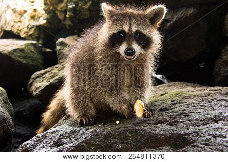A Backlit Baby Raccoon Smiling As He Sits On A Pile Of Rocks Holding His Dinner.