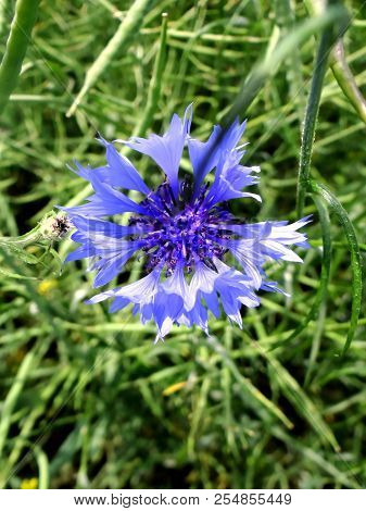 Blue Cornflower In The Meadow, Kellerwald, Edersee