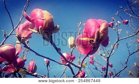 New Spring Pink Flowers Blooming In A Tree