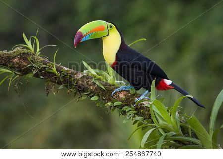 Keel Billed Toucan Photographed In Costa Rica