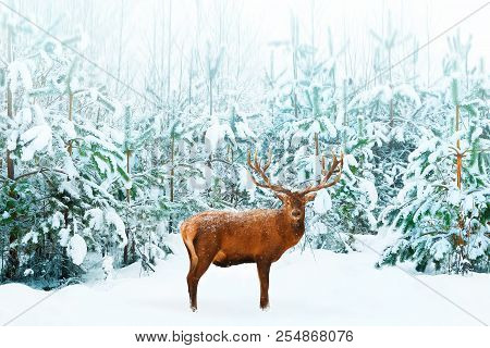 Beautiful Male Noble Deer And Christmas Tree In The Snow In The Winter Forest. Winter Natural Backgr