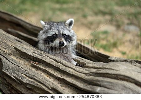 Portrait Of Lotor Common Raccoon. Tree Hiding Place Of Raccoon. Look Out Of Hiding. Photography Of N