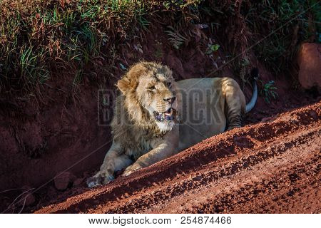 Lion Resting  After Meal, Tanzania Ngorongoro Crater National Park.