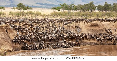 A panorama of wildebeest and zebra gathered on the banks of the Mara river during the annual great migration. Masai Mara, Kenya.