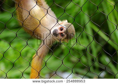 Common Squirrel Monkey (saimiri Sciureus) On Green Background. Little Monkey In Zoo Garden. Monkey L