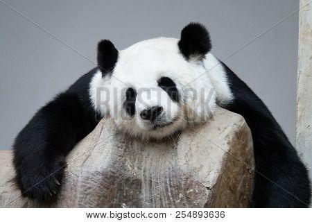 Giant Panda Bear Sleeping On The Rocks.