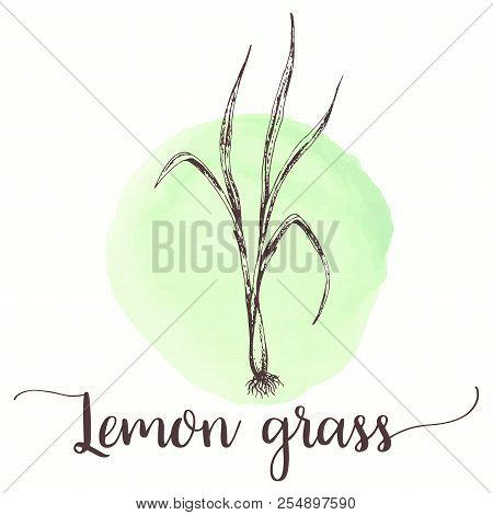 Lemongrass Sketch On Watercolor Paint. Hand Drawn Ink Illustration Of Lemon Grass Tea. Vector Design
