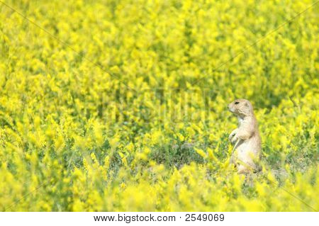 A black-tailed prairie dog in a meadow of yellow mustard plant. poster