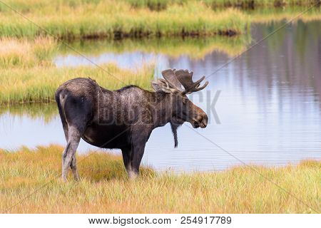 Wild Moose In The Rocky Mountains Of Colorado