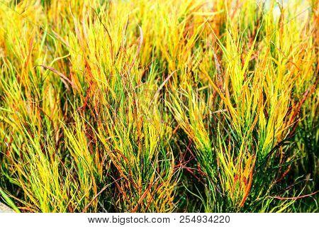 Garden Croton Rainbow Leaves Is Often Grown In Tropical Gardens