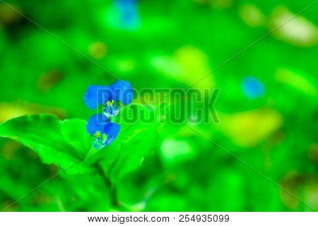 Benghal Dayflower Blue Flower Yellow Pollen In The Garden