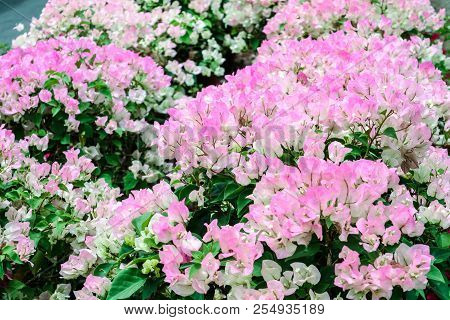 Bougainvillea White Pink Two Tone Color Flower Blooming