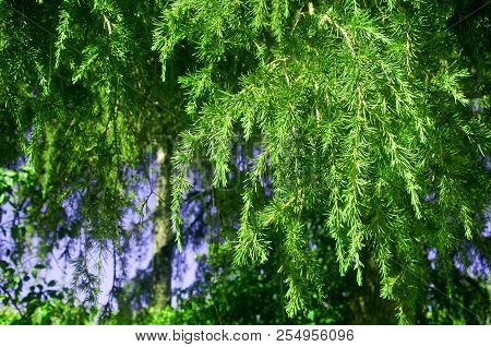 Branches And Leaves Of Green Conifer Tree, Macro, Summer
